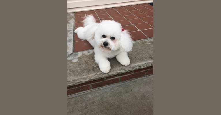 Photo of Luna, a Bichon Frise