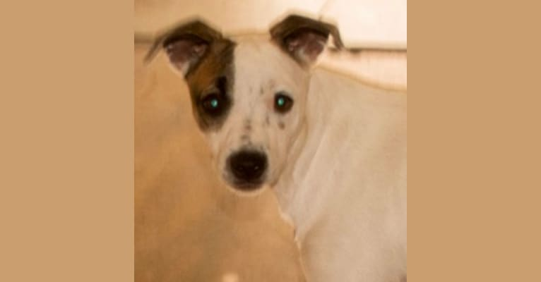 Photo of Popcorn, a Border Collie, Whippet, Border Terrier, and Staffordshire Bull Terrier mix in Pahrump, NV, USA