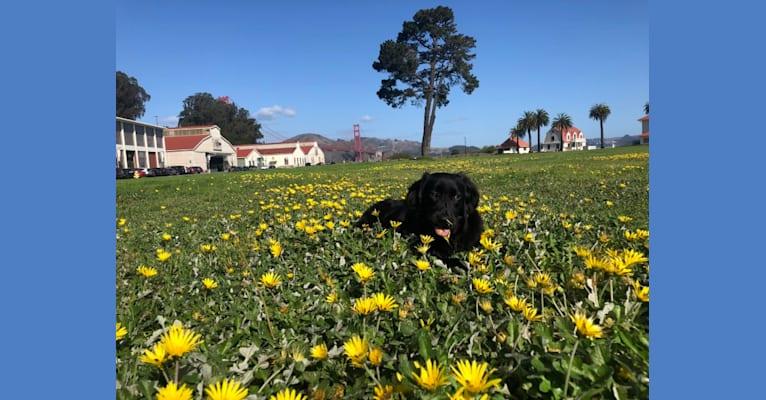 Photo of Eve, a Labrador Retriever, Australian Shepherd, Golden Retriever, and Mixed mix in Texas, USA