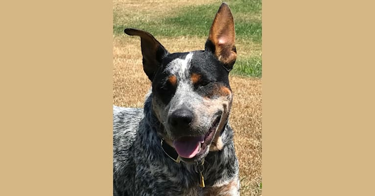 Photo of Buck, an American Pit Bull Terrier, Australian Cattle Dog, and Mixed mix in Placerville, California, USA