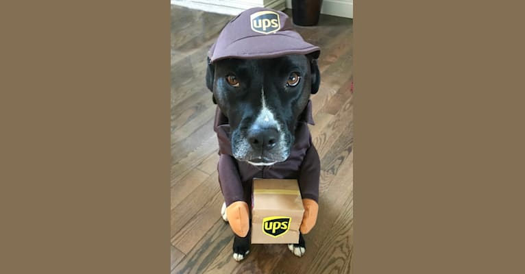 Photo of Wilson Xavier, a Boxer, Labrador Retriever, American Pit Bull Terrier, and Rottweiler mix in Tennessee, USA