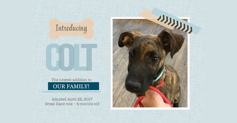 Photo of Colt, a German Shepherd Dog and Great Dane mix in New Mexico, USA