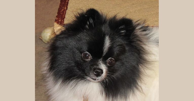 Photo of PomBeach She Ain't Got Rhythm, a Pomeranian  in Three Hills, AB, Canada