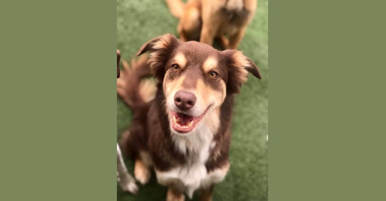 Photo of Red, an English Shepherd, American Pit Bull Terrier, Australian Shepherd, Labrador Retriever, and Australian Cattle Dog mix in Columbus, Indiana, USA