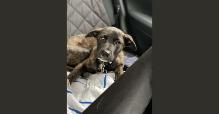 Photo of Moon, an American Village Dog mix