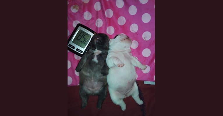 Photo of Gemma, a Bulldog and French Bulldog mix in Thomaston, Maine, USA