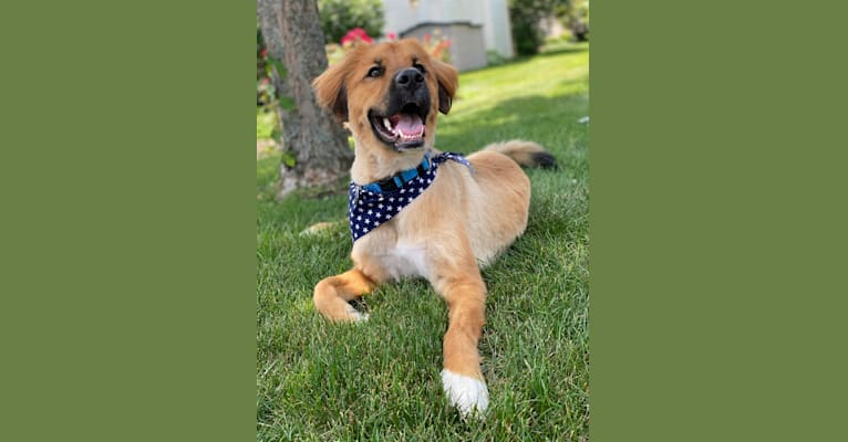 Photo of Brody, a German Shepherd Dog, Boxer, Great Pyrenees, and American Foxhound mix in Arkansas, USA