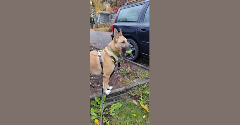 Photo of Kelmi, an Eastern European Village Dog and German Shepherd Dog mix in Espoo, Finland
