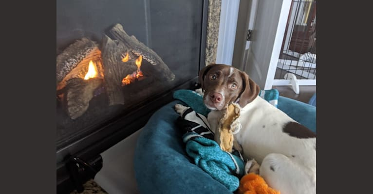 Photo of Daisy, a Labrador Retriever, Boxer, and Treeing Walker Coonhound mix in Halifax, Virginia, USA