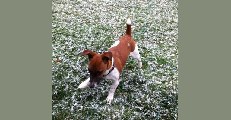 Photo of Sammy (Sam), a Russell-type Terrier  in Lancaster, PA, USA