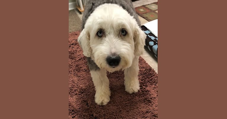Photo of Sophie, an Old English Sheepdog  in Looneyville, WV, USA