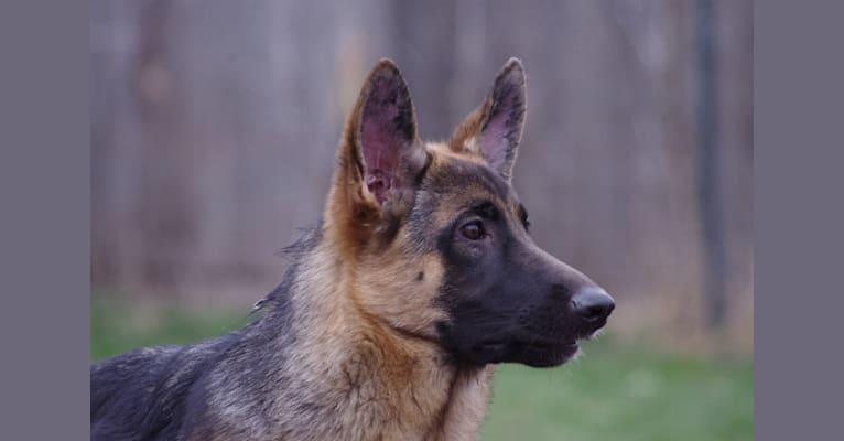Photo of Zuma, a German Shepherd Dog
