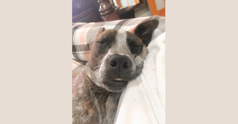 Photo of Bodhi, an Australian Cattle Dog, Boston Terrier, and American Pit Bull Terrier mix in Broken Arrow, Oklahoma, USA