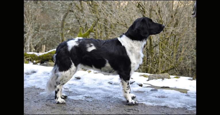 Photo of Mieke, a Stabyhoun