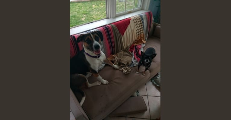 Photo of Holly, an American Pit Bull Terrier, Catahoula Leopard Dog, American Staffordshire Terrier, Labrador Retriever, and Mixed mix in Winnsboro, Louisiana, USA