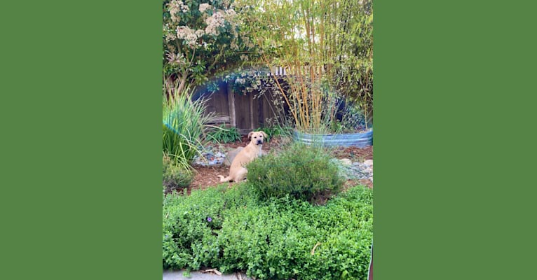 Photo of Roxy, an American Pit Bull Terrier, American Bully, Siberian Husky, and Golden Retriever mix in Stockton, California, USA