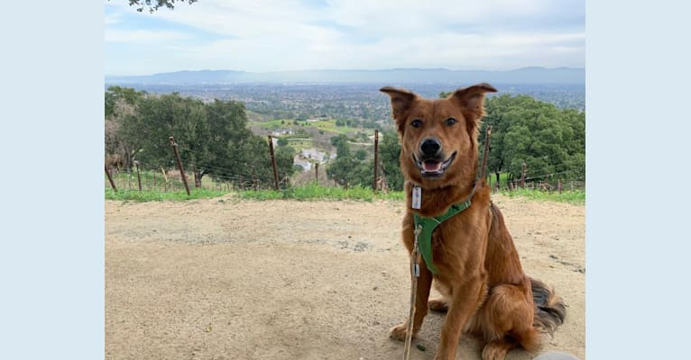 Photo of Ranger, a Rottweiler, German Shepherd Dog, and American Pit Bull Terrier mix in Los Angeles, California, USA