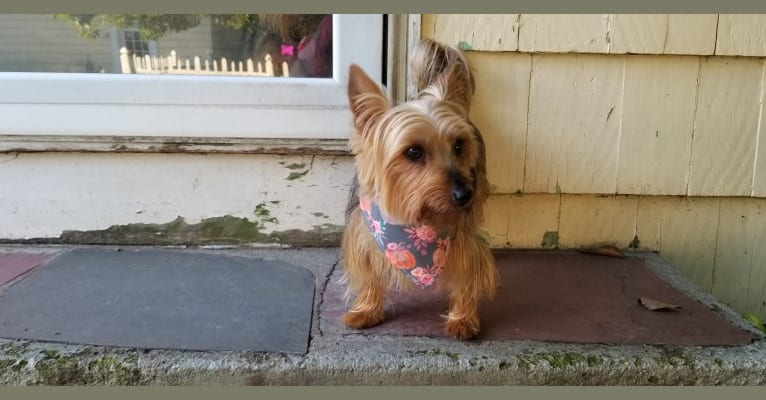 Photo of Eden, a Silky Terrier  in Connecticut, USA