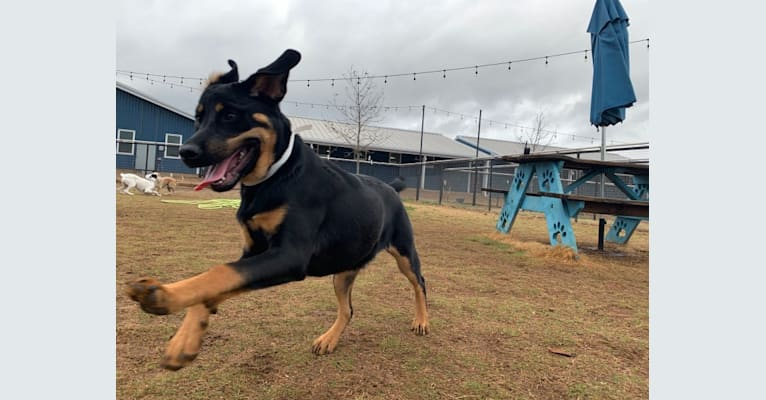Photo of Nori, a Rottweiler, Great Pyrenees, and Labrador Retriever mix in Austin, Texas, USA