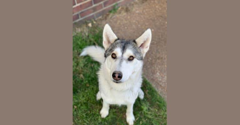 Photo of Sakari, a Siberian Husky, Alaskan Malamute, and German Shepherd Dog mix in Franklin, TN, USA