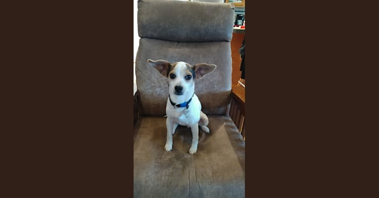 Photo of Jack, a Beagle, Miniature Pinscher, Chihuahua, and Mixed mix in Mississippi, USA