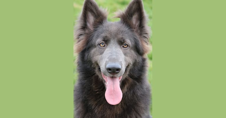 Photo of Taboo, a German Shepherd Dog  in UK