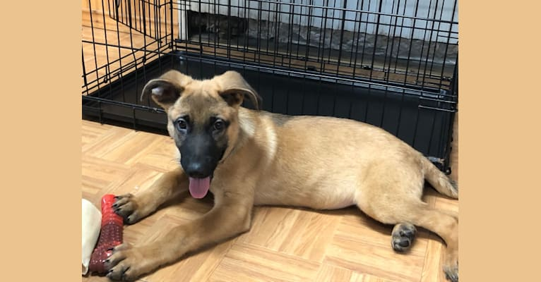 Photo of Forester, a German Shepherd Dog, Australian Cattle Dog, and Mixed mix in Texas, USA