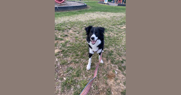Photo of Barlei Grace, a Border Collie and Mixed mix in Front Royal, Virginia, USA
