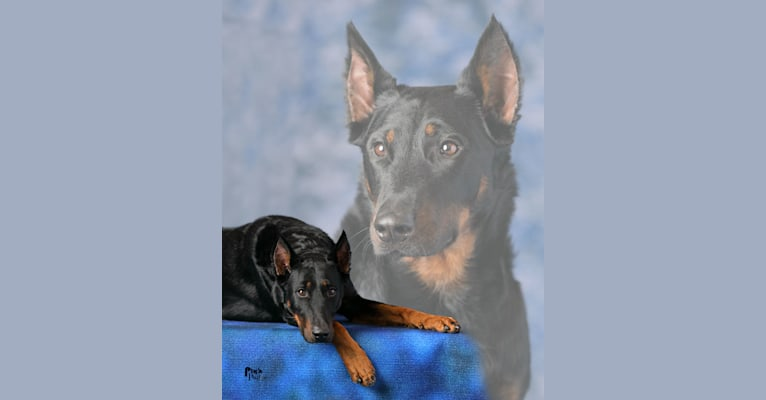 "Photo of L'Mystere Noir du Chateau Rocher ""Mystic"", a Beauceron  in Woodlake, CA, USA"
