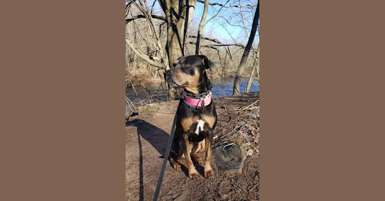 Photo of Kailee, an American Pit Bull Terrier, Rottweiler, and American Staffordshire Terrier mix in Brooklyn, NY, USA