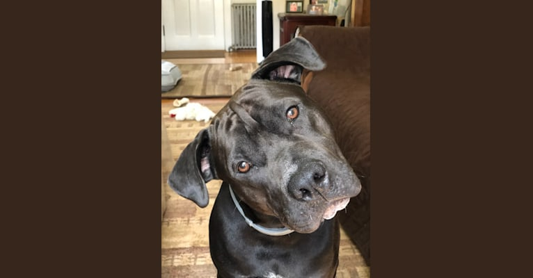 Photo of Mookie, an American Pit Bull Terrier and American Staffordshire Terrier mix in Georgia, USA
