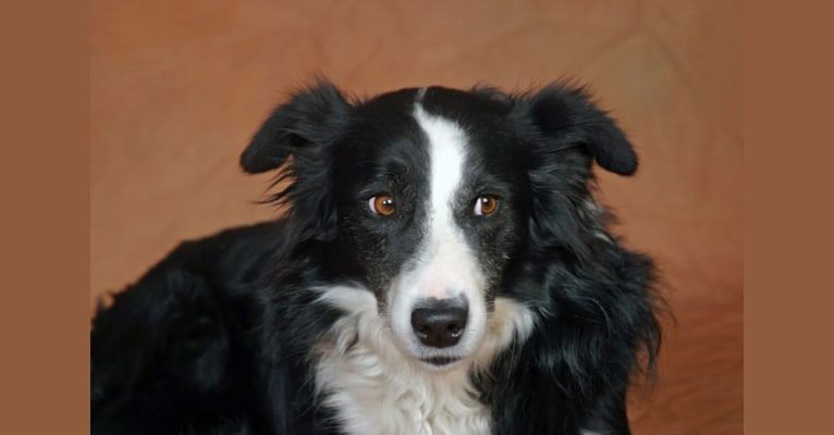 Photo of Larry, an English Shepherd, Australian Cattle Dog, German Shepherd Dog, Collie, and Mixed mix in New Mexico, USA