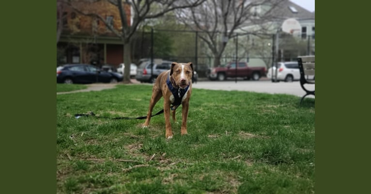Photo of Loki, an American Pit Bull Terrier, Labrador Retriever, German Shepherd Dog, American Staffordshire Terrier, and Mixed mix in Arkansas, USA