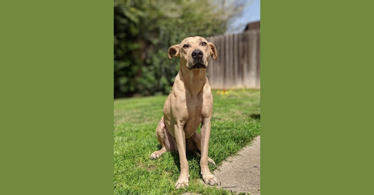 Photo of Chowder, an American Pit Bull Terrier, American Staffordshire Terrier, and German Shepherd Dog mix in Honolulu, HI, USA