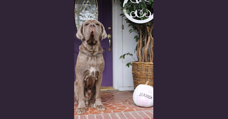 Photo of Apollo, a Neapolitan Mastiff  in Florence, South Carolina, USA