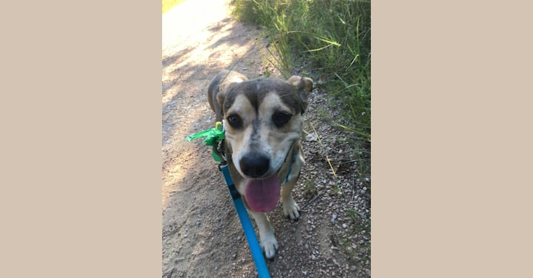 Photo of Charlotte, a Chihuahua, American Pit Bull Terrier, Pug, Labrador Retriever, Australian Cattle Dog, and Mixed mix in Austin, TX, USA