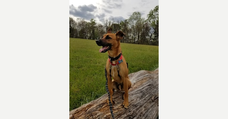 Photo of Scout, a German Shepherd Dog, Russell-type Terrier, Cocker Spaniel, and Mixed mix in Salem, Virginia, USA