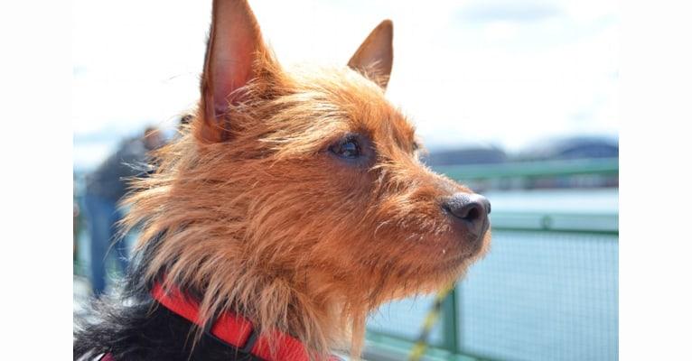 Photo of Winnie, an Australian Terrier  in Necedah, WI, USA