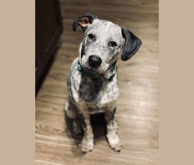 Photo of Ace, an Australian Cattle Dog, Labrador Retriever, and Mixed mix in Smyrna, Georgia, USA