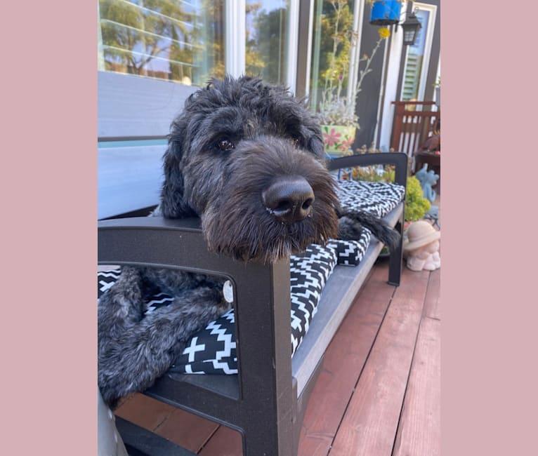 Photo of Kylo, a Bouvier des Flandres  in Hercules, California, USA