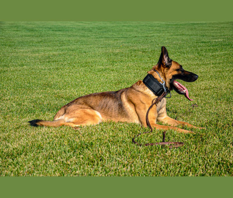 Photo of Syrus, a German Shepherd Dog, Belgian Malinois, and Dutch Shepherd mix in Edmonton, AB, Canada