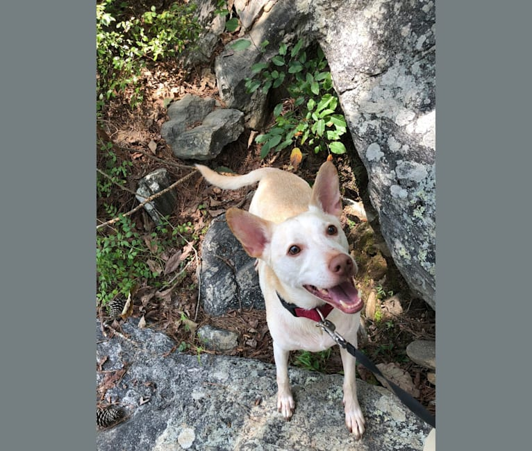 Photo of Cooper, a Chihuahua, Chow Chow, American Pit Bull Terrier, and Mixed mix in Rome, Georgia, USA