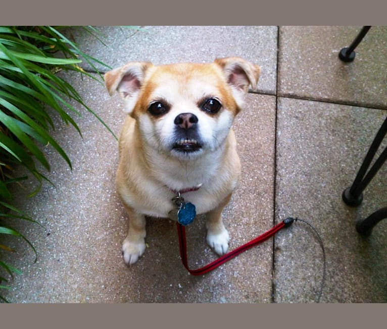 Photo of Jiminy, a Chihuahua, Pomeranian, and Bichon Frise mix in West Virginia, USA