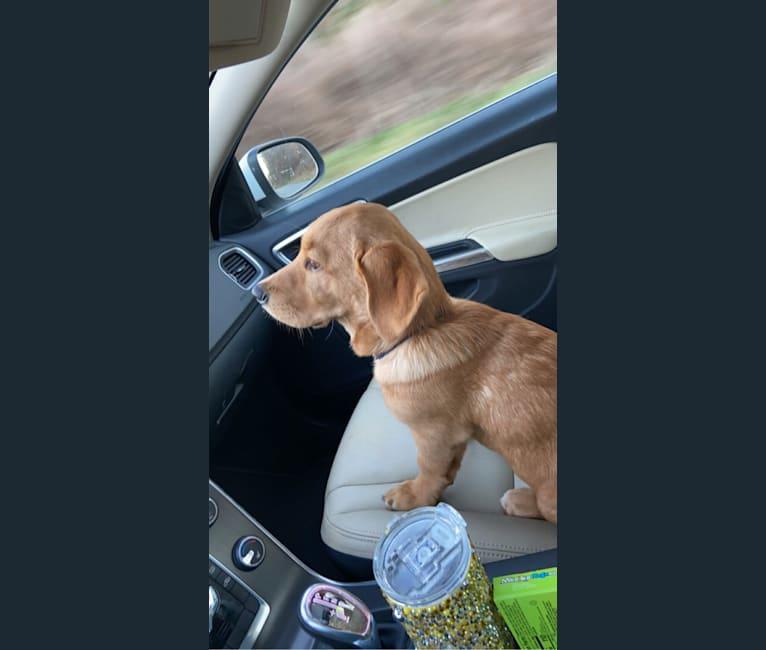 Photo of Bert, a Labrador Retriever, Chow Chow, American Bulldog, Treeing Walker Coonhound, and Mixed mix