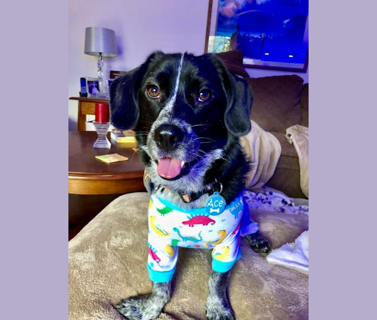 Photo of Ace, a Beagle, Shih Tzu, and Mixed mix in South Korea