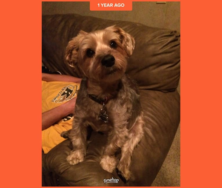 Photo of Charlie, a Yorkshire Terrier  in North Canton, Ohio, USA