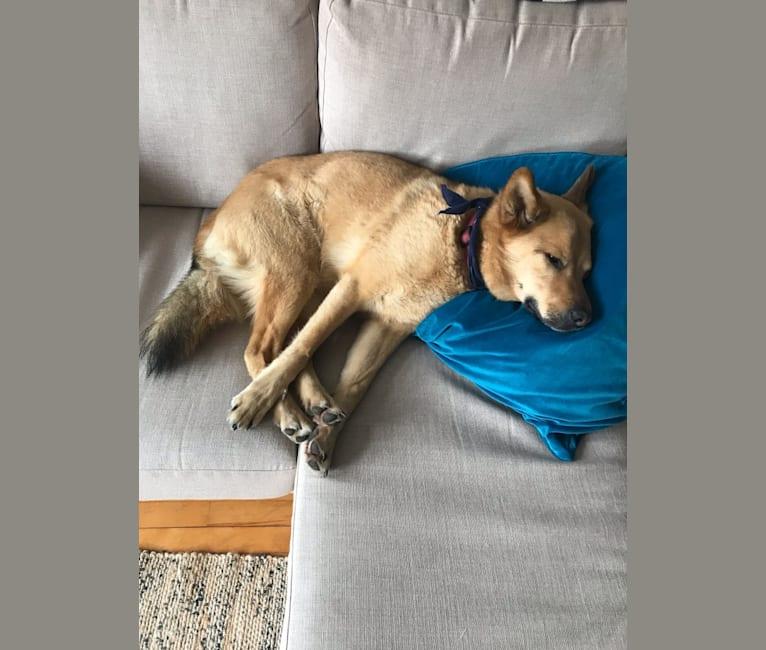 Photo of Hunter, a Labrador Retriever, Siberian Husky, German Shepherd Dog, Alaskan Malamute, and Mixed mix in Montréal, Québec, Canada