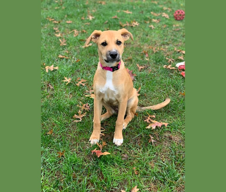 Photo of Cookie, a Rottweiler, American Pit Bull Terrier, and Mixed mix in West Virginia, USA