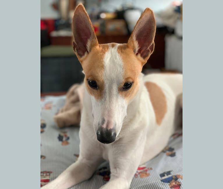 Photo of Berlin, a Carolina Dog  in Aiken, SC, USA