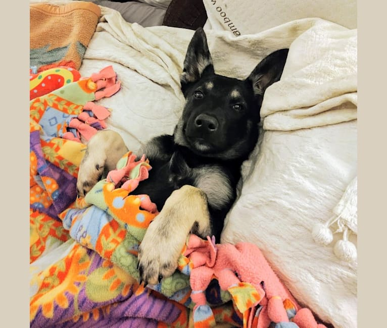 Photo of Buddy Bear Reynolds, an Australian Cattle Dog, American Pit Bull Terrier, German Shepherd Dog, Chow Chow, and Mixed mix in New Mexico, USA